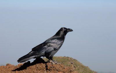 Los cuervos podrían tener conciencia, según la Universidad de Tübingen y Science